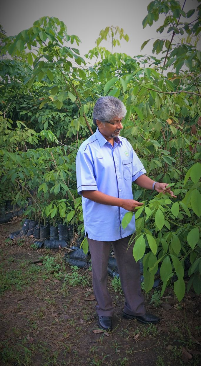 Terrific trees: Malaysia first planted transgenic rubber trees in 2012 and can only expect to move into commercialisation after the completion of research and development activities within an allotted time period. — Photos: Malaysian Rubber Board