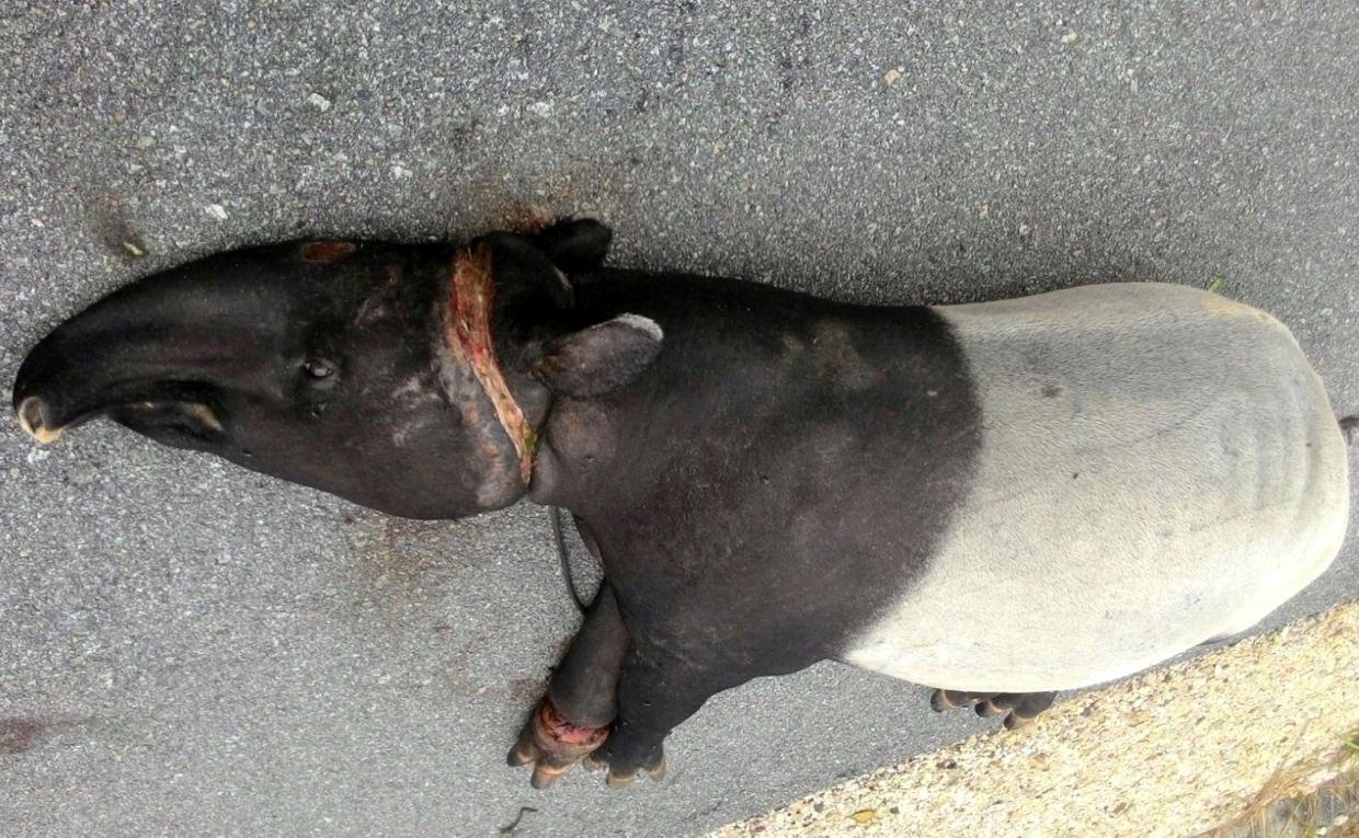 The carcass of a tapir that was caught in a poacher's trap in Johor. — Bernama