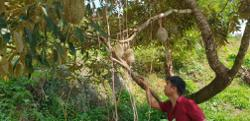 Challenging season for durian farmers