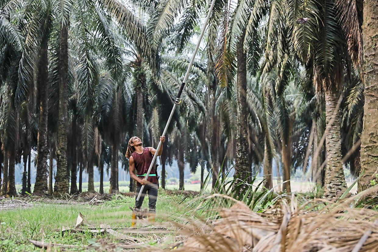 Tax boon: A Genting Plantations worker harvesting oil palm in Malaysia. The planned cut in Indonesia's corporate tax will be positive for the planter's operations there. — Bloomberg