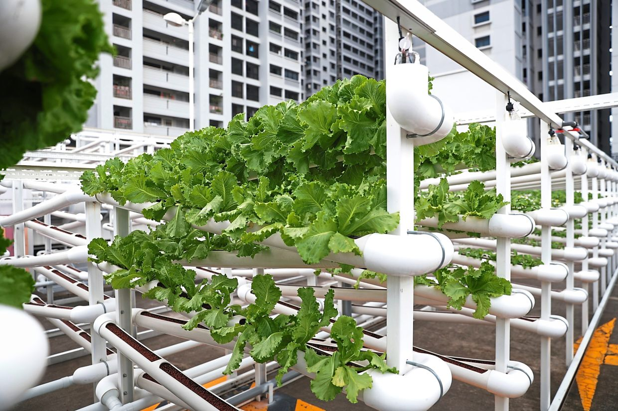 This rooftop farm in Singapore apparently can grow up to 25 different varieties of leafy greens.
