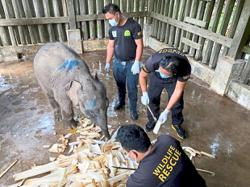 Another pygmy elephant found dead