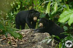 MCO leaves Sabah's sun bear centre in need of funds to keep animals safe