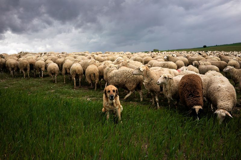In northern Spain, lamb farming feels chill winds of coronavirus   The Star