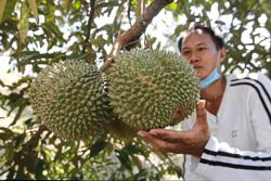 Durian likely to be cheaper