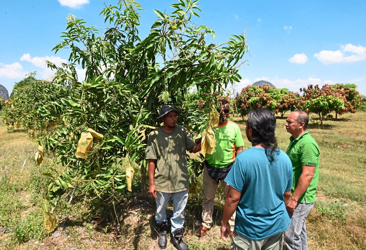 A farmer (left) in Kampung Panggas Besar, Chuping, Perlis, briefing visitors on his harum manis mango trees. — Filepic