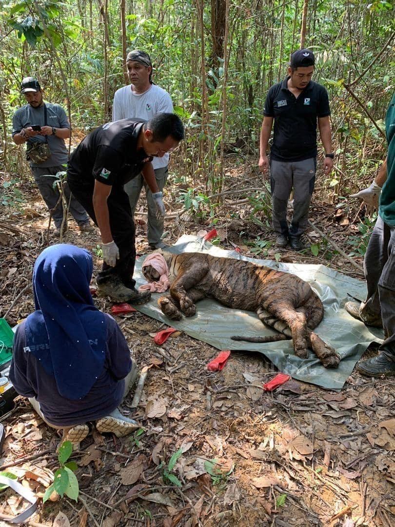 Catching the tiger Awang Besul in Kampung Besul Lama, in Dungun, Terengganu, was a tame affair as the canine distemper virus infecting it had affected its brain, leaving it unafraid of humans. — Perhilitan