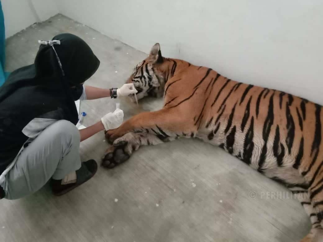 'Tame' tiger Awang Besul being cared for by a Perhilitan staff member at the National Wildlife Rescue Centre in Sungkai, Perak. The tiger, which was infected with the canine distemper virus, caught on July 19, 2019, and died on July 23. Photo: Perhilitan