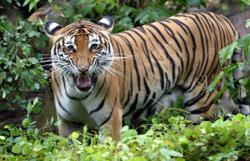 Malayan tigers face new threat: Extinction-level virus could wipe them out