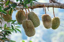 No more roadside durians