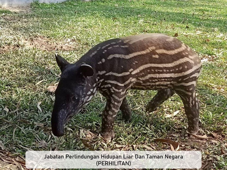 A young tapir.
