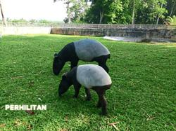 Saving the Malayan Tapir