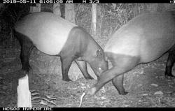 Public urged to do all it takes to save the tapir