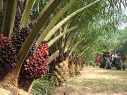 FGV sees significant drop in palm oil output due to Covid-19 control order