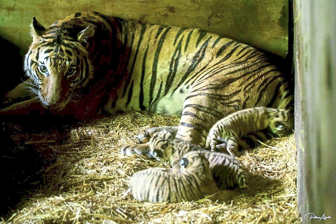 Proud mum: Baby with her litter. — Photo courtesy of Taiping Zoo and Night Safari