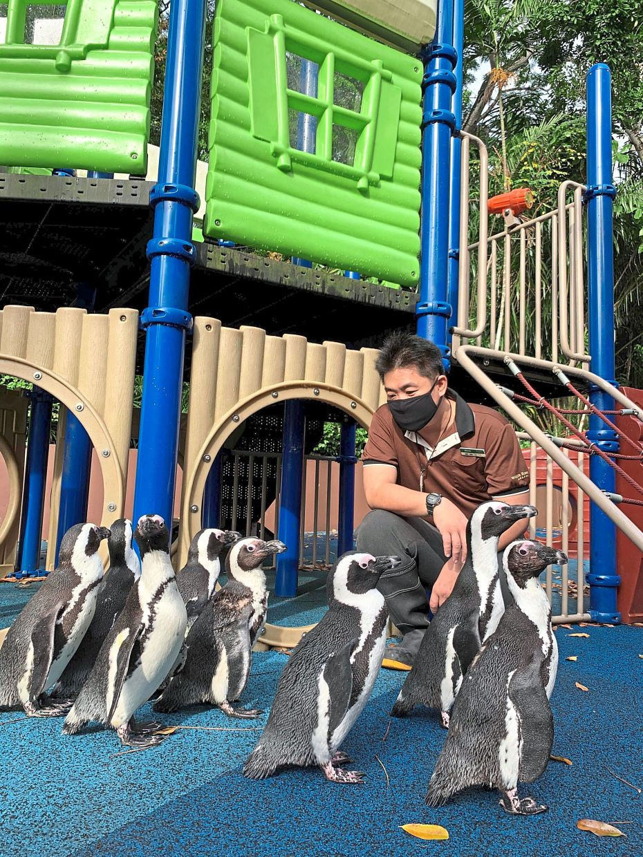 Waddling around: A caretaker looking after penguins roaming around the empty surroundings of Singapore Zoo. — AFP