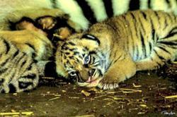 Congrats! It's three Malayan tiger cubs