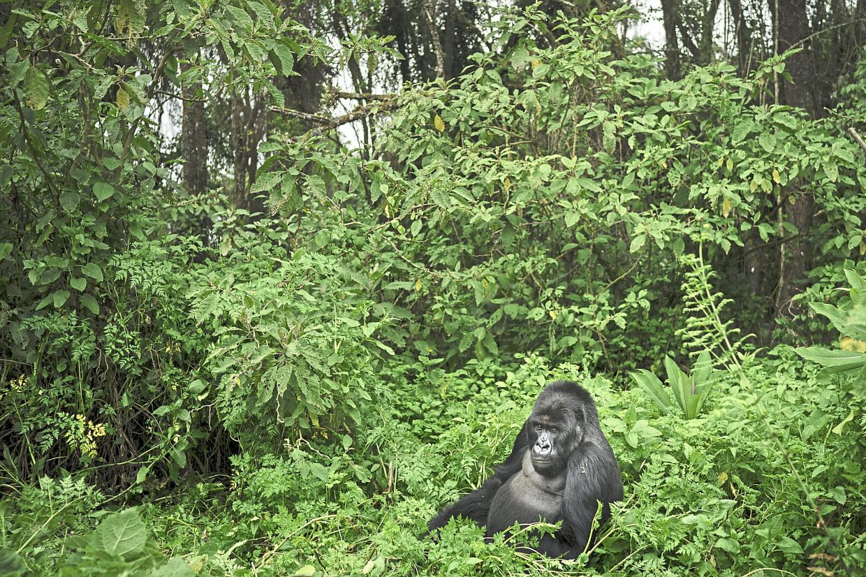 A silverback mountain gorilla in the Volcanoes National Park in Rwanda. Congo's Virunga National Park, home to about a third of the world's mountain gorillas, has barred visitors until June 1. — AP