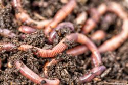 Emergence of thousands of earthworms in Lombok sign explained