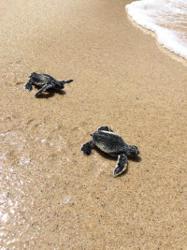 Two hundred baby turtles hatch near beachfront resort in Thailand
