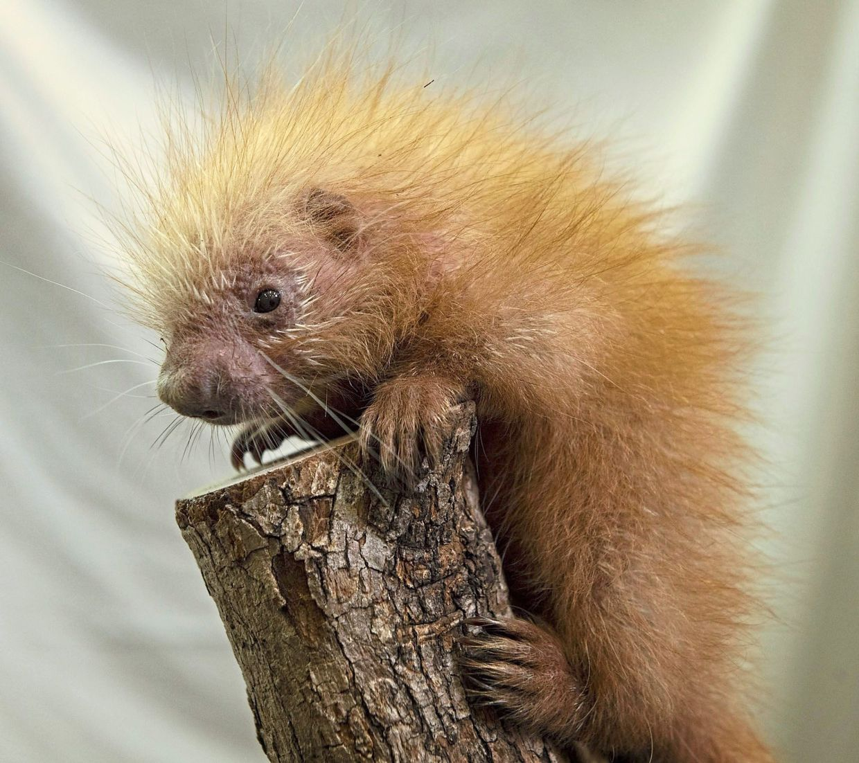 A female prehensile-tailed porcupine was born on Feb 25 at Disney's Animal Kingdom at Walt Disney World Resort, Florida. — Walt Disney Co./TNS