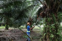 Palm oil to trend higher next week