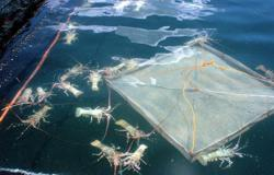 MCO produces windfall for lobster farm