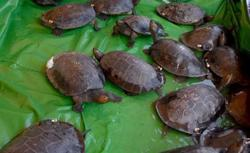 23 rare Royal Turtles hatch in natural habitat in Cambodia