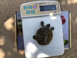 Cambodian conservationists hopeful for revival of rare royal turtle
