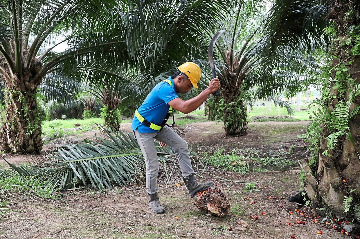 FILE PHOTO: A Sime Darby Plantation worker collects palm oil fruits at a plantation in Pulau Carey, Malaysia, January 31,2020. - REUTERS/Lim Huey Teng/File Photo