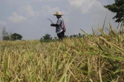 Philippine farmers want Marcos-era programme to boost rice production