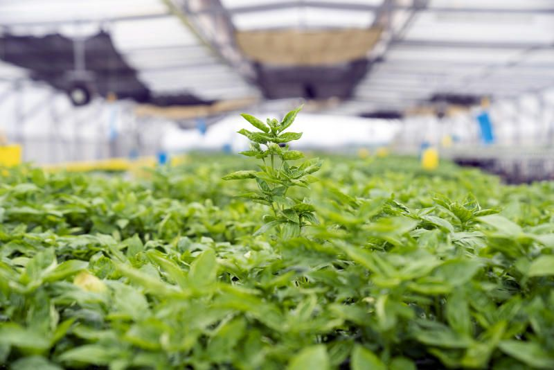 Allan Lim grows rows of lettuces and basil in a greenhouse on the roof of an industrial building. His vertical farming company ComCrop is one of dozens of ventures that use technologies such as hydroponics and solar power to grow produce. - Bloomberg
