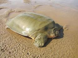 Some 1,756 eggs of rare Cantor's Giant Softshell Turtles found in Cambodia portion of Mekong River
