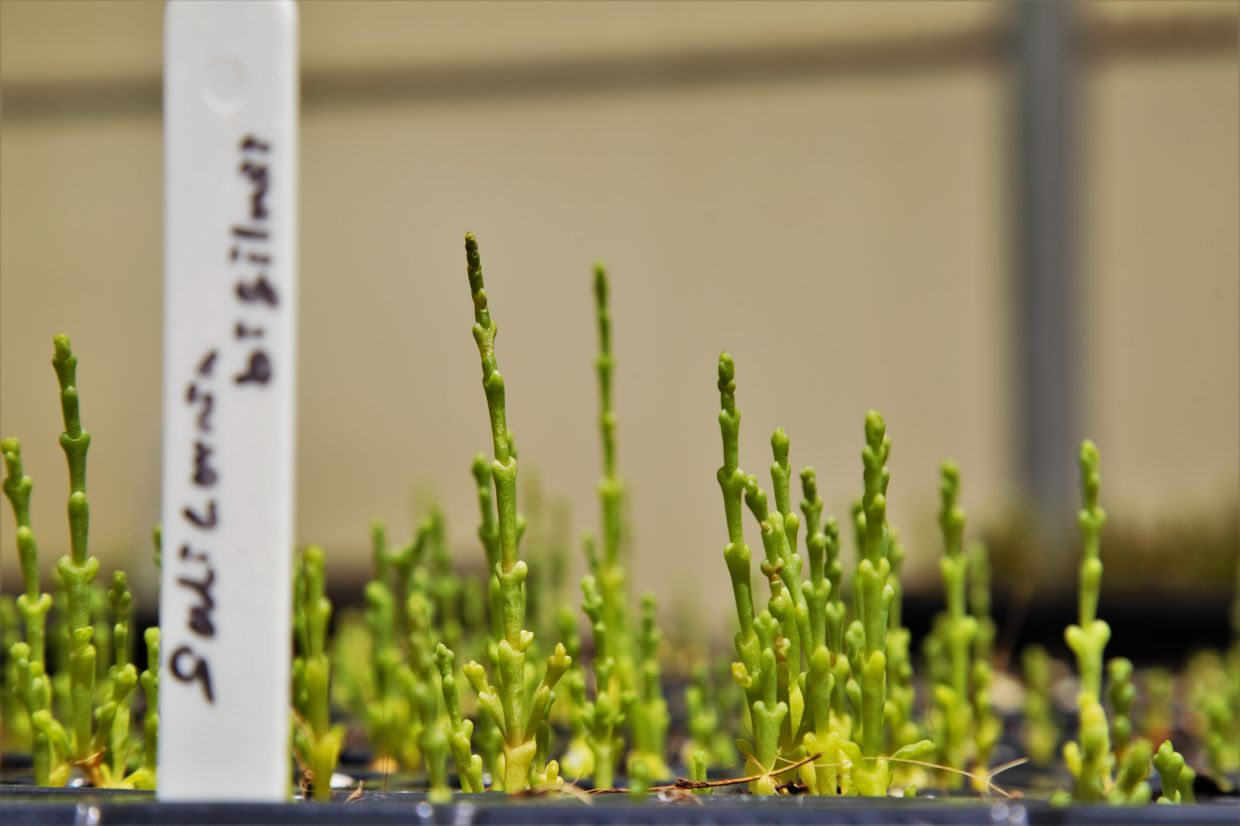 Salicornia seedlings are pictured at ICBA headquarters in Dubai, UAE. — International Center for Biosaline Agriculture/Handout via Reuters