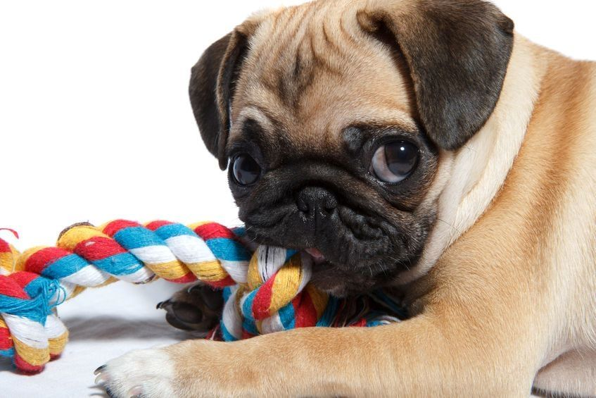 Dogs love to chew and if they're chewing the toy, it's better for your shoes and furniture! — 123rf.com