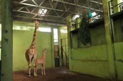 Bali zoo's newborn baby giraffe is named Corona