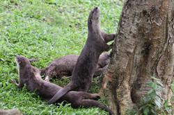 Singapore otters' lockdown antics spark backlash