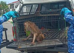 Captured pig-tailed macaque surrendered to Sarawak Forestry Corp