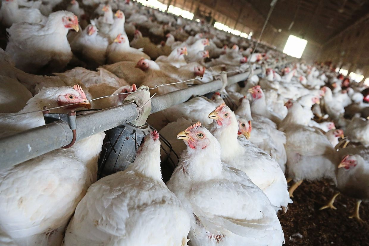 Chickens in farms across United States are being culled in methods that include gassing and suffocation, as farms simply cannot feed the animals past their projected slaughter date. — AFP Relaxnews