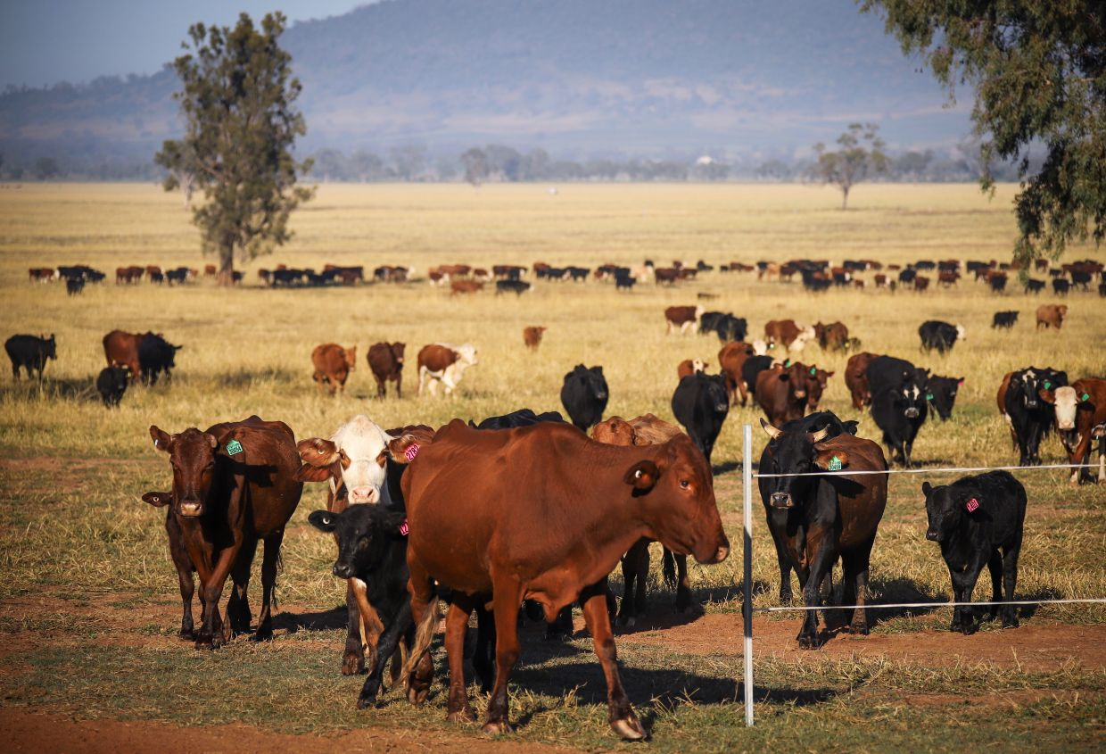 Unknown numbers of cows will also likely be culled. — Bloomberg
