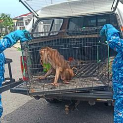 Macaque captured in housing estate