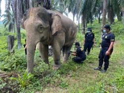 Wildlife rangers capture bull elephant raiding Tawau plantations