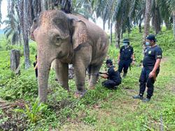 Tawau rangers capture marauding pygmy elephant