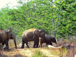 Wildlife Dept urges people to not harm encroaching elephants in eastern Sabah