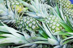 Govt to expand pineapple cultivation with booming global demand