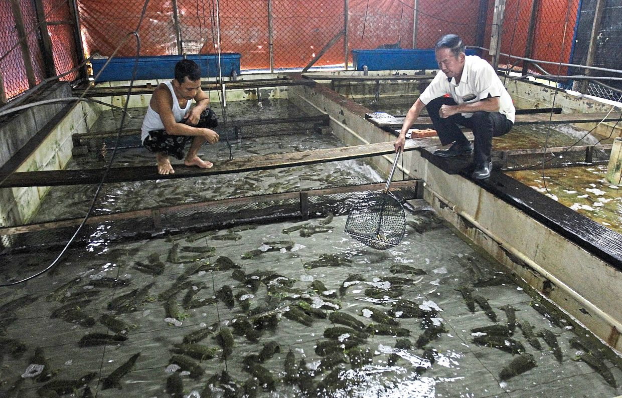 Jumbo-sized: Tan (right) showing the A-size mantis shrimps, which are about 30cm long, at his farm in Bukit Tambun. — Pics by ZHAFARAN NASIB/The Star