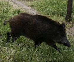 'Lone male' wild boar wanted for death of motorcyclist