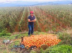 UMS food scientists help Kundasang tomato farmers diversify