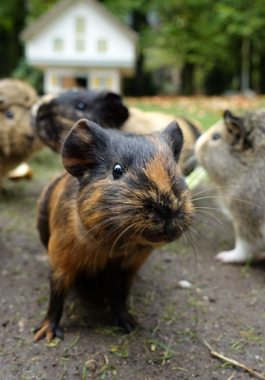 Guinea pigs should only go out on the grass if you yourself would feel comfortable walking barefoot for a longer period of time. Photo: Andrea Warnecke/dpa