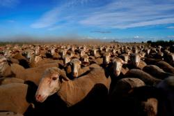 Uruguay's expert shearers bypass lockdown to relieve sweltering Spanish sheep